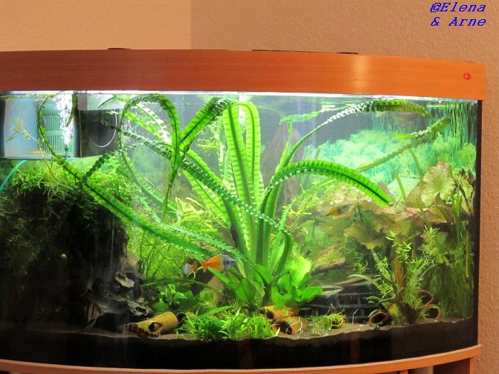 Crinum natans   Pflege und Vermehrung   Aquarium Forum