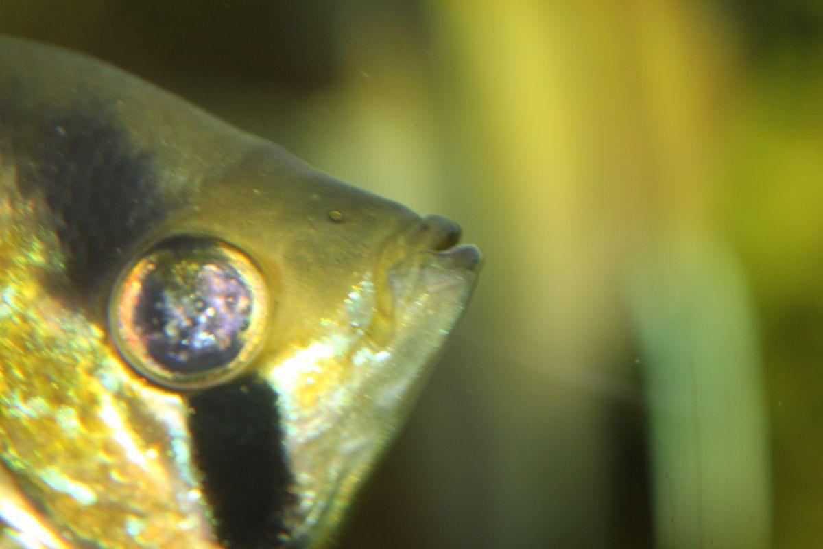 Buntbarsche skalar skalar krank aquarium forum for Skalar aquarium
